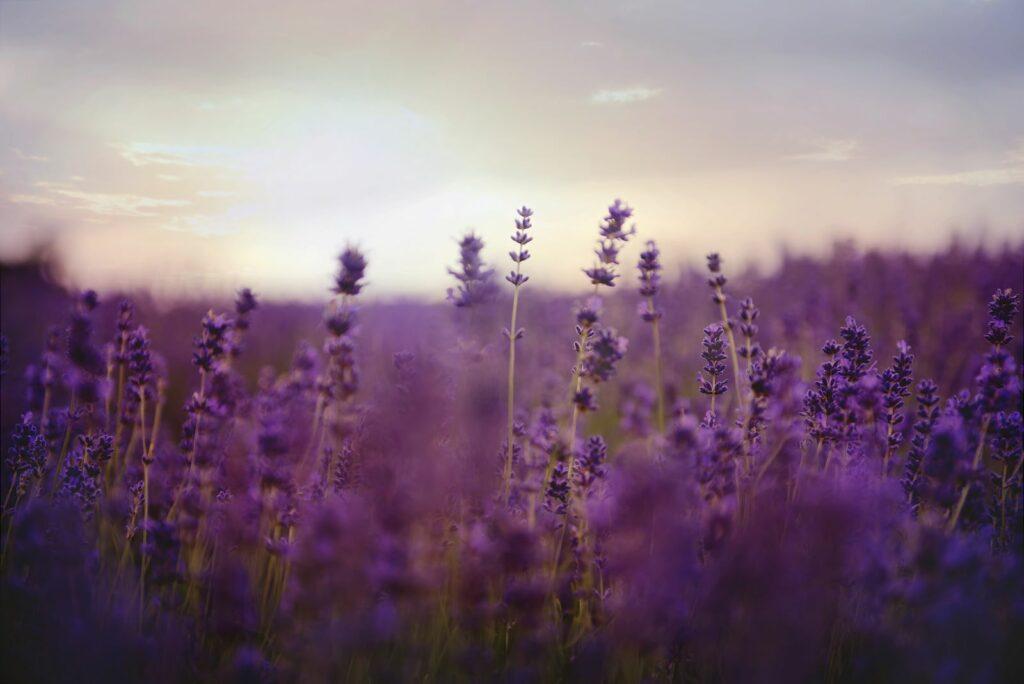 Lavender-resize